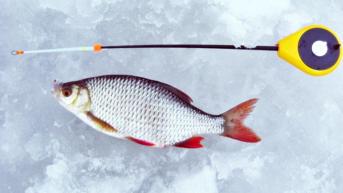 Как ловить красноперку зимой
