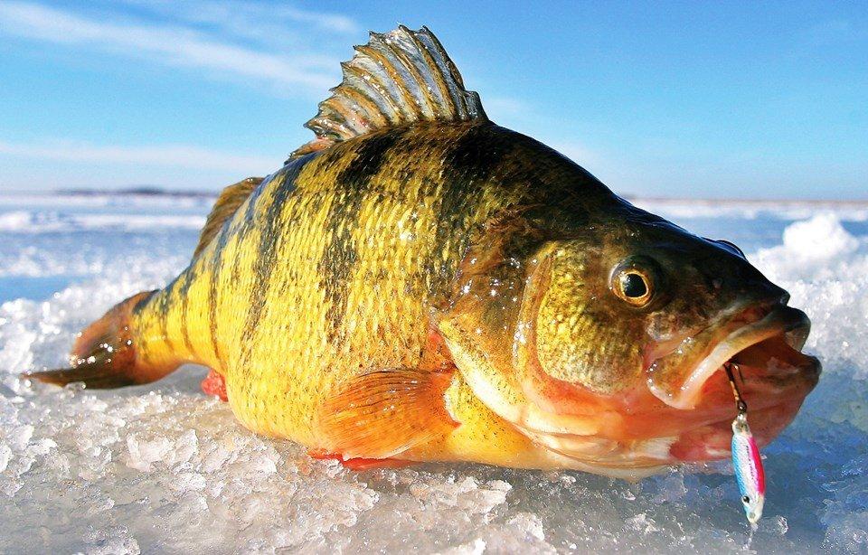 Все о зимней рыбалке на окуня