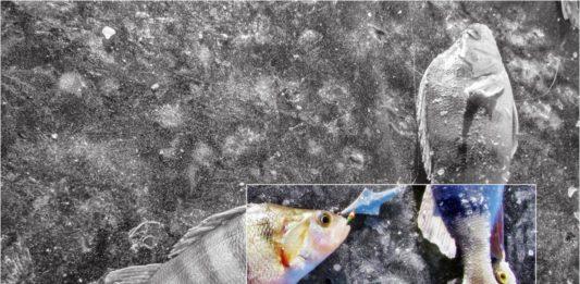 Зимняя рыбалка первый лед - ловля окуня