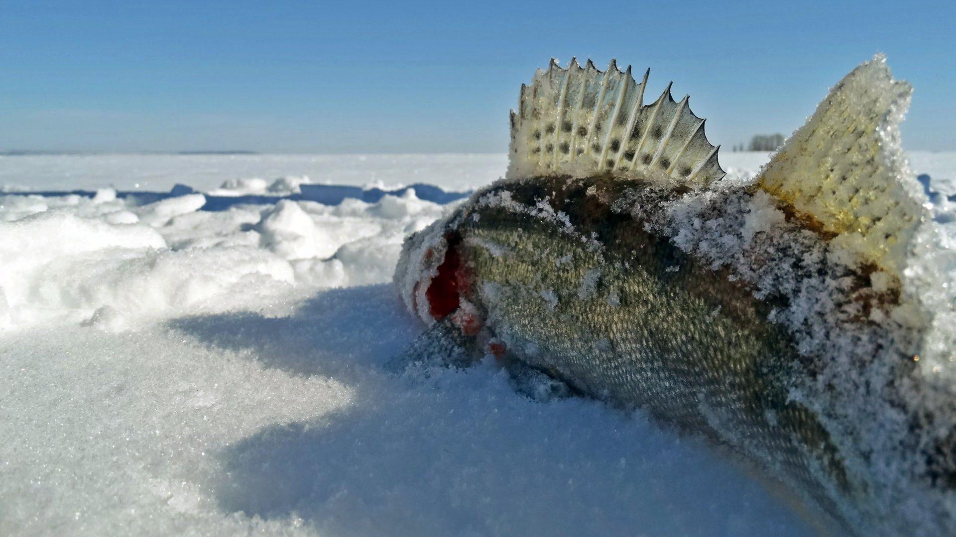Зимняя удочка для балансира - особенности выбора, подготовка, уловистые балансиры, где ловить
