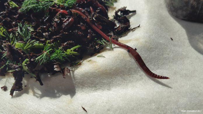 Несколько способов насадить червя