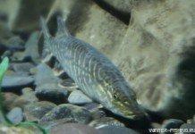 Байкальская щука - подводные съемки