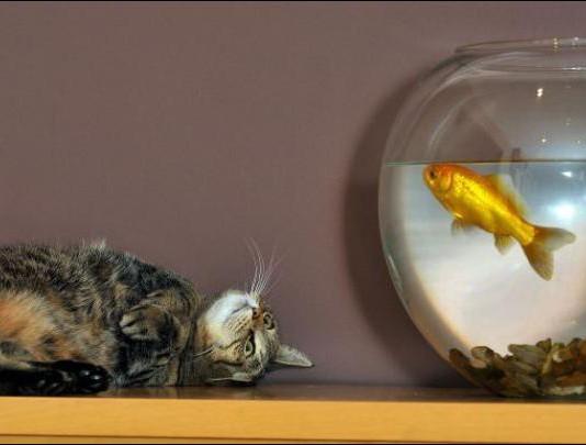аквариум и любопытный кот